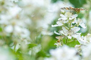 Distervlinder in het wit