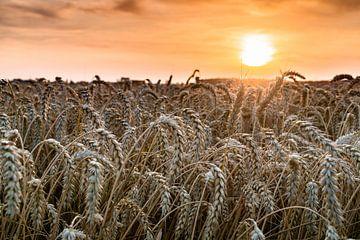 Céréales au coucher du soleil sur Dennis Dijkstra
