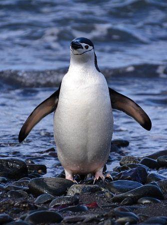 Kinband pinguïn weer schoon en fris....