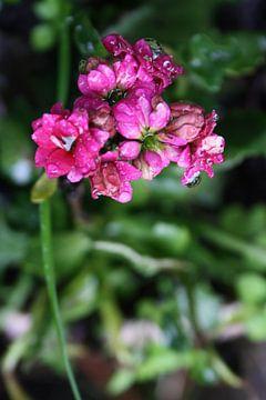 paars/roze bloem van Dewi Hoffs