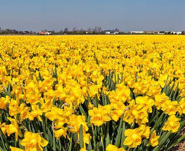 Blumenzwiebeln, Narzissen, Anna Pauwlona ,, Nordholland, die Niederlande von Rene van der Meer
