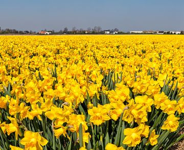 Bollenveld met narcissen, Anna Pauwlona, , Noord-Holland van