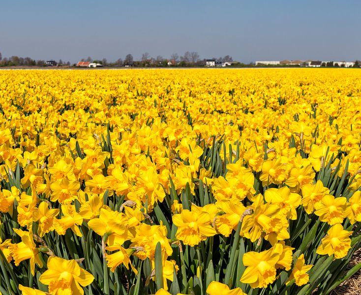 Bollenveld met narcissen, Anna Pauwlona, , Noord-Holland van Rene van der Meer