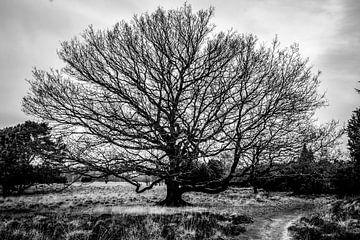 Eine einsame Eiche in der Heide von Henk Hulshof