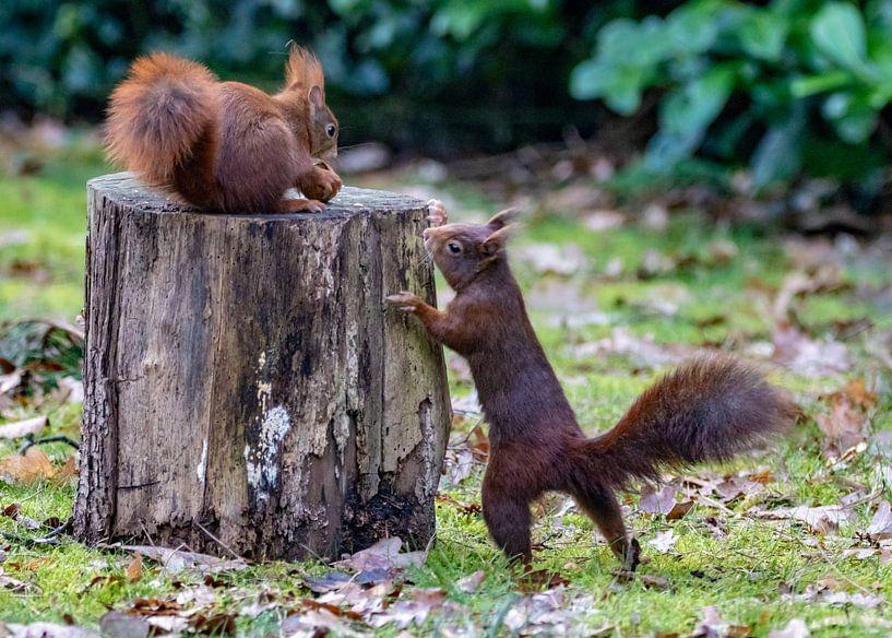 Eichhörnchen im Garten von Marlies Gerritsen