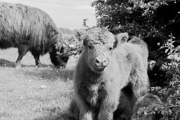 Junges schottisches Kalb mit seiner Mutter im Hintergrund von Tina Linssen