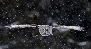 Chouette lapone (Strix nebulosa) en vol pendant une tempête de neige sur AGAMI Photo Agency