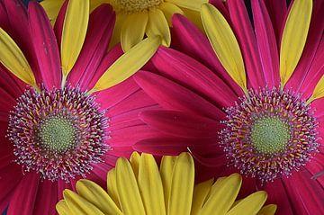 Blumenaugen von zwergl 0611