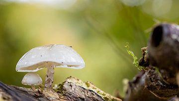 Twee kleine witte paddenstoeltjes, de kleinste onder moeders paraplu van Studio de Waay