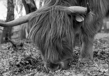 Schotse Hooglander zwart wit van Ton Tolboom