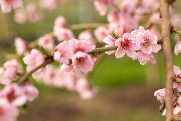 Tak met roze bloesem brengt het voorjaar in huis van Marijke van Eijkeren
