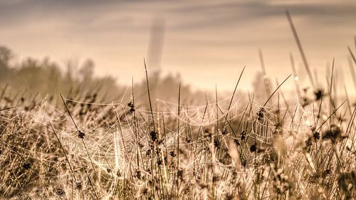 Graspollen in waterrijk vennengebied met spinnenwebben in deochtendzon
