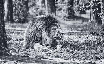 Der König des Dschungels - Ein prachtvoller Löwe zerkaut seine Beute im Serengeti-Park Resort Zoo von Jakob Baranowski - Off World Jack