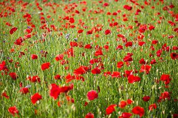 Blühender Mohnblumen von Barbara Brolsma