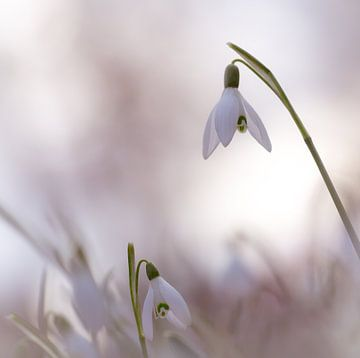 Sneeuwklokjes van Jacqueline Heemskerk
