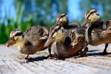 Curious young ducklings sur Ricardo Bouman