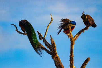 Pauwenfamilie in boom in Sri Lanka van Julie Brunsting