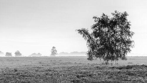 Berkkenboom op de eenzame heide