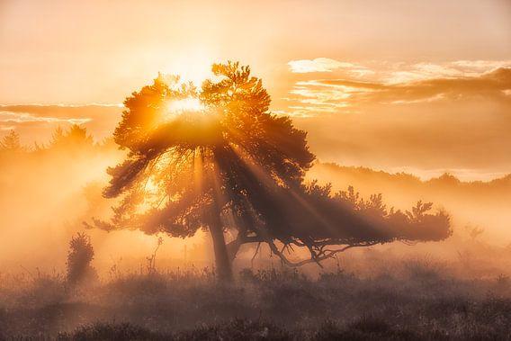 Zonsopkomst in de mist  met prachtig licht op de heide bij  Oudemolen, Drenthe, Nederland
