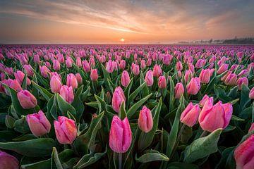 Roze tulpenveld bij zonsopkomst van