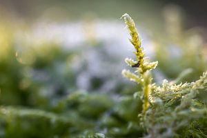 Sneeuwvlokken op mos