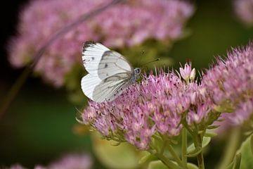 Kleiner Kohlweißling (Schmetterling) auf rosa Herbstfreude (Sedum). von Ingrid Bargeman