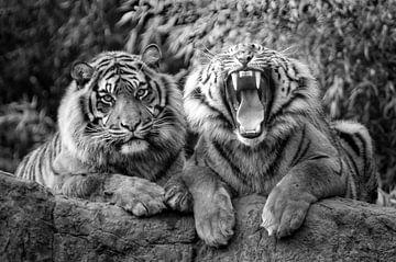 Sibirische Tiger von Tilly Meijer
