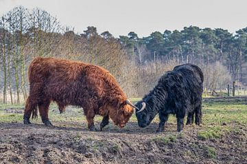 Fighting black and brown scottisch highlander bull and cow in spring season sur Ben Schonewille