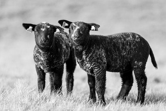 Lammetjes bij Strijensas