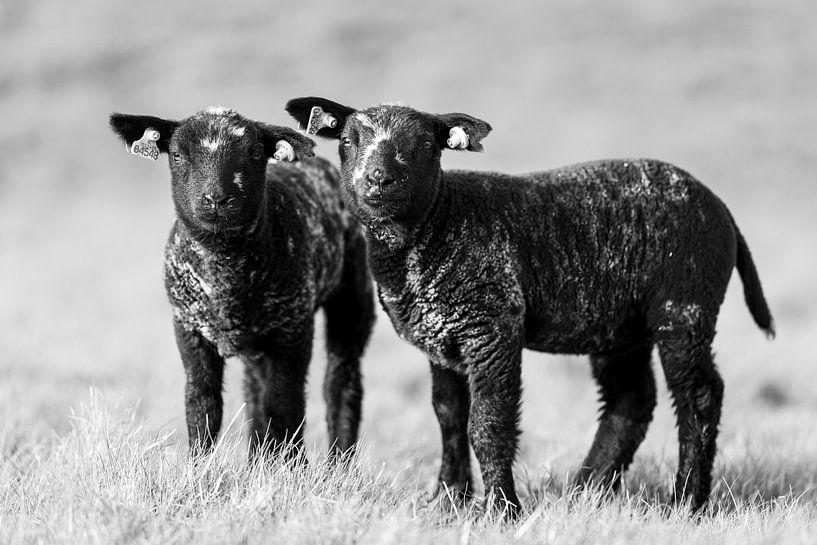 Lammetjes bij Strijensas van Steven Dijkshoorn