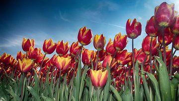 Tulips Extravaganza van Rob Kuijper