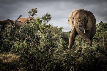 Elefanten zwischen den Wäldern während der Safari im Krüger-Park Südafrika von Björn Jeurgens