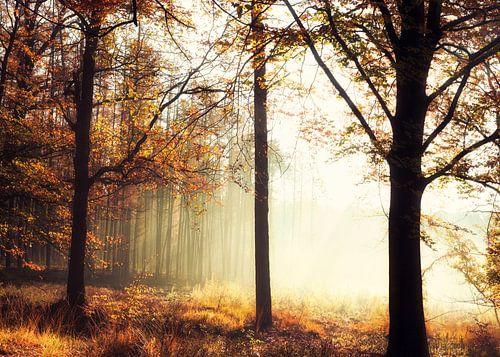 Mysterieuze ochtend mist in het Veluwse bos.