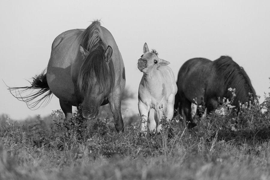 Paarden | Zwart wit dieren - konikpaarden, Oostvaardersplassen van Servan Ott