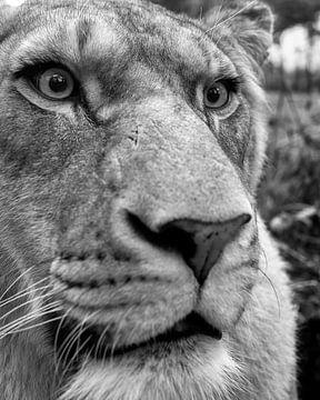 Nahaufnahme einer Löwin in schwarz-weiß von Patrick van Bakkum