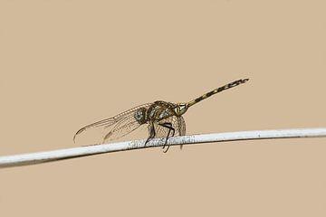 Libelle von De Afrika Specialist