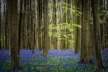 Eenzaam boompje tussen de grote bomen in het Hallerbos von Jeffrey Van Zandbeek