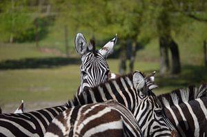 Zebra kann von Patricia Fotografie