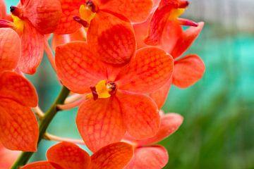 Orang farbene Orchidee in Thailand von Babetts Bildergalerie