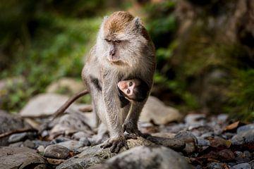 makaak en baby sur