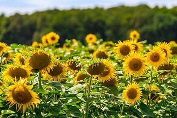 Sonnenblumen im Loiretal. von Easycopters