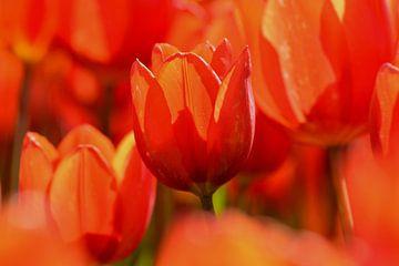 Tulp, rood