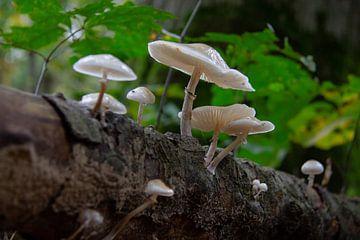 Porcelain fungus op een stam beukenhout van Marco Leeggangers