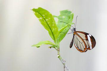 Ein gläserner Schmetterling von Petra Brouwer