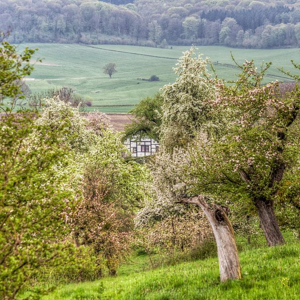 Bloesem in de Belletboomgaard in Zuid-Limburg van John Kreukniet