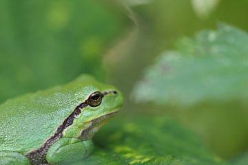 Boomkikker op groen blad van een bramenstruik. van Astrid Brouwers