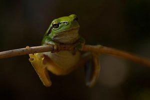 Clinching Tree Frog