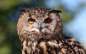 Europese Oehoe (Bubo Bubo) in Closeup van