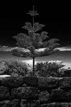 Schwarz Weiß Tropische Kiefer von Jan Brons
