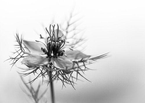 zwart wit bloem, blauwe Nigella sativa